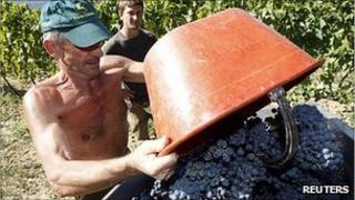 A farmer harvests grapes in Italy