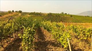 Rows of Kosovo grapes