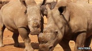 Rhinos in Kruger National Park,SA, file