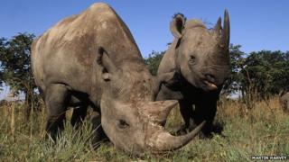 Black rhinoceroses
