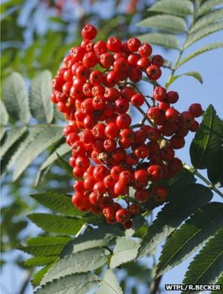 Rowan berries (Image: WTPL/Richard Becker)