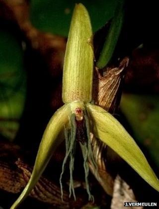 Bulbophyllum nocturnum (Image: Jaap Vermeulen)