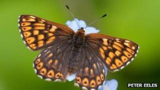 Duke of Burgundy butterfly