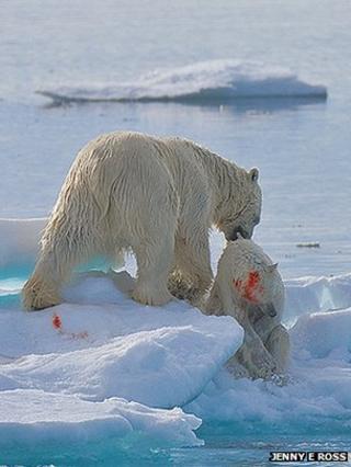 Polar bears (Copyright Jenny E Ross)