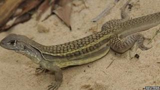 Self cloning lizard