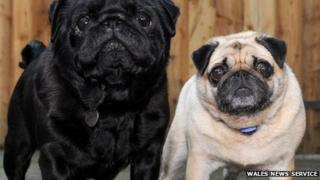 Franky (l) acts as the eyes of his smaller fellow pug Elly, who is blind
