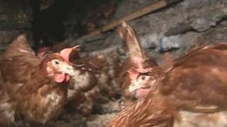 Hens at Farplace sanctuary