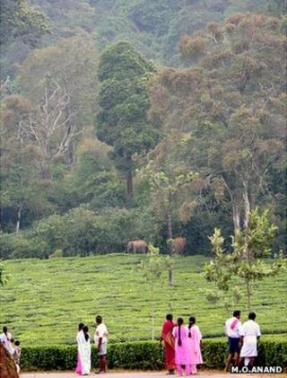 Herd of elephants on forest fringe (Image: M O Anand)