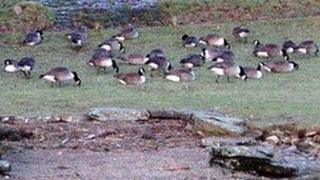 Canada geese on the shores of Windermere