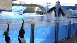 SeaWorld trainers work with two killer whales, including Tilikum (right)