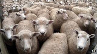 A flock of sheep