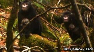 Burmese snub-nosed monkey photographed by a camera trap