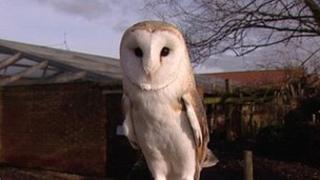 Barn owl at a farm