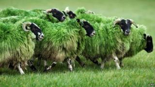 Bathgate sheep