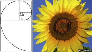 A Fibonacci spiral and a sunflower