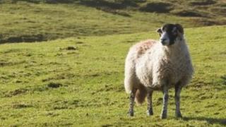 Sheep on Cumbrian fell