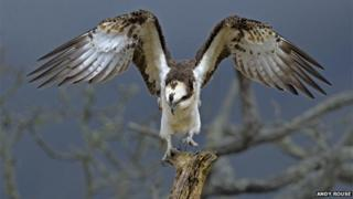 Osprey at Glaslyn by Andy Rouse