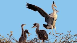 Herons at Attenborough Nature Reserve