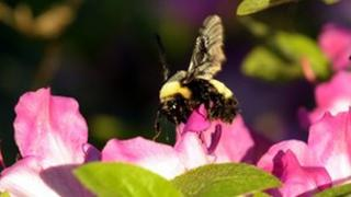 Bumblee bee on flower