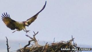 Osprey lands on nest