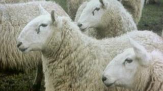Sheep - generic