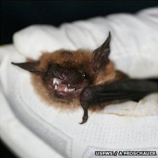 Biologist holding a big brown bat (Image: USFWS/Ann Froschauer)