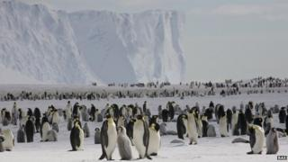 Emperor penguins on the sea ice close to the UK's Halley Research Station