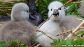 Cygnets at Abbotsbury Swannery