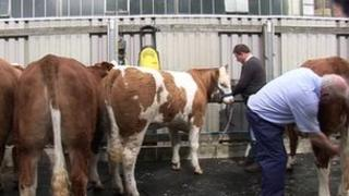 Cows at Balmoral show