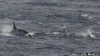 Orca chasing a white-beaked dolphin