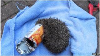 Hedgehog in carrot tin