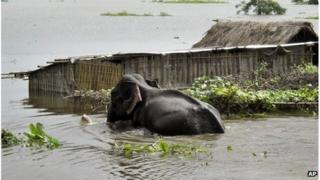 A baby elephant along with its mother wades through floodwaters at Kaziranga National Park in Guahati, India, Saturday, June 30, 2012