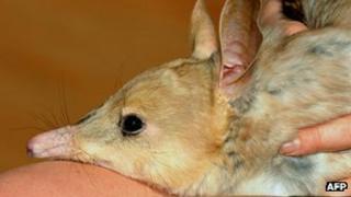 File photo: Australian bilby