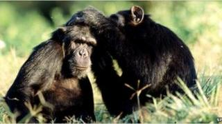 Chimpanzees grooming (Image: Science Photo Library)