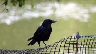 A crow sits on a fence overlooking the lake in St James's Park, London.
