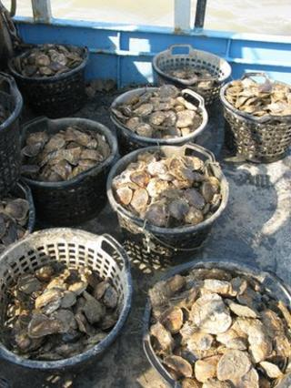 Native oysters