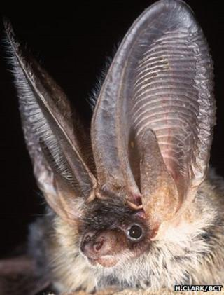 Grey long-eared bat (Image: Hugh Clark/Bat Conservation Trust)