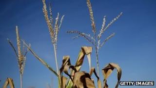Corn plants on a farm in Iowa