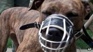 A muzzled and leashed pit-bull terrier