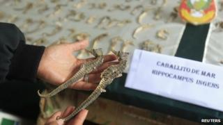 Peruvian police officer displays seized seahorses