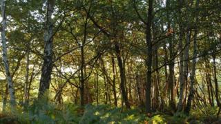 Woodland; Buckinghamshire, UK (Image: BBC)