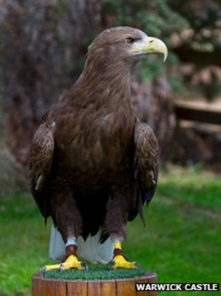 Stanley the white tailed sea eagle