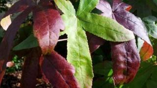 Liquidambar tree leaves