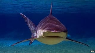 Bull shark in shallows