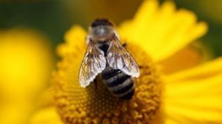Honey bee feeding on a flower