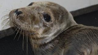 A seal at Guernsey's GSPCA