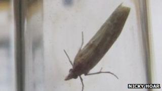 Gymnancyla canella