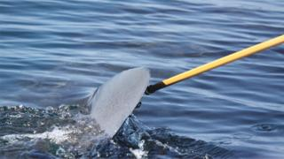 Collecting slime from the fin of a basking shark