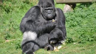 Gorilla called Djala
