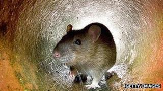 Rat in pipe